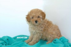 1 CANICHE MINI MACHO298
