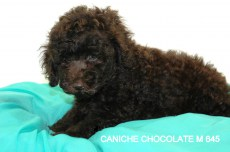 CANICHE CHOCOLATE M 645