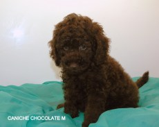 CANICHE CHOCOLATE M