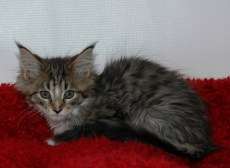 MAINECOON  HE